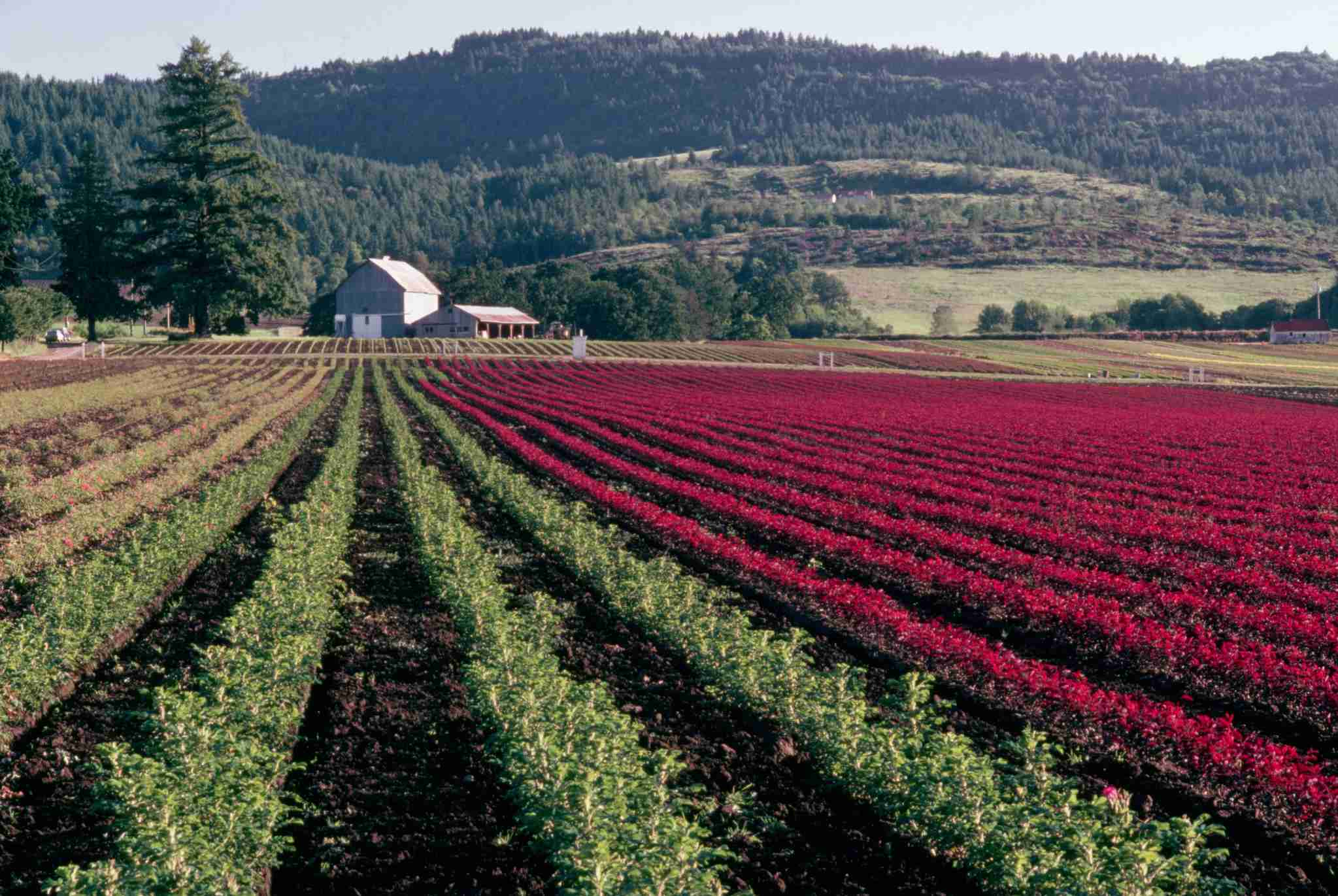 Fields planted for nursery stock with a barn in the distance, Willamette Valley, Oregon. | Location: Newberg area, Willamette Valley, Oregon, USA. (Photo by © Gary Braasch/CORBIS/Corbis via Getty Images)