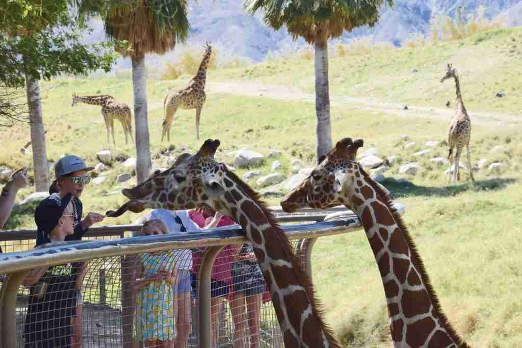 If you time it right, the kids can help feed the giraffes at The Living Desert Zoo in the Palm Springs area.