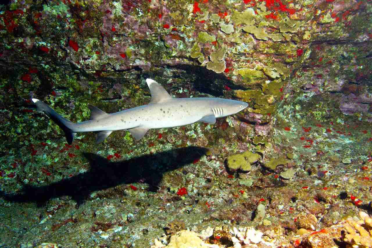 White tip reef shark in waters off Maui. (Photo by Swiss/Canadian underwater photographer/Getty Images)