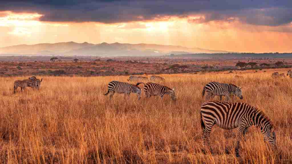 Scenic View Of Zebras Grazing In Field Against Sky During Sunset
