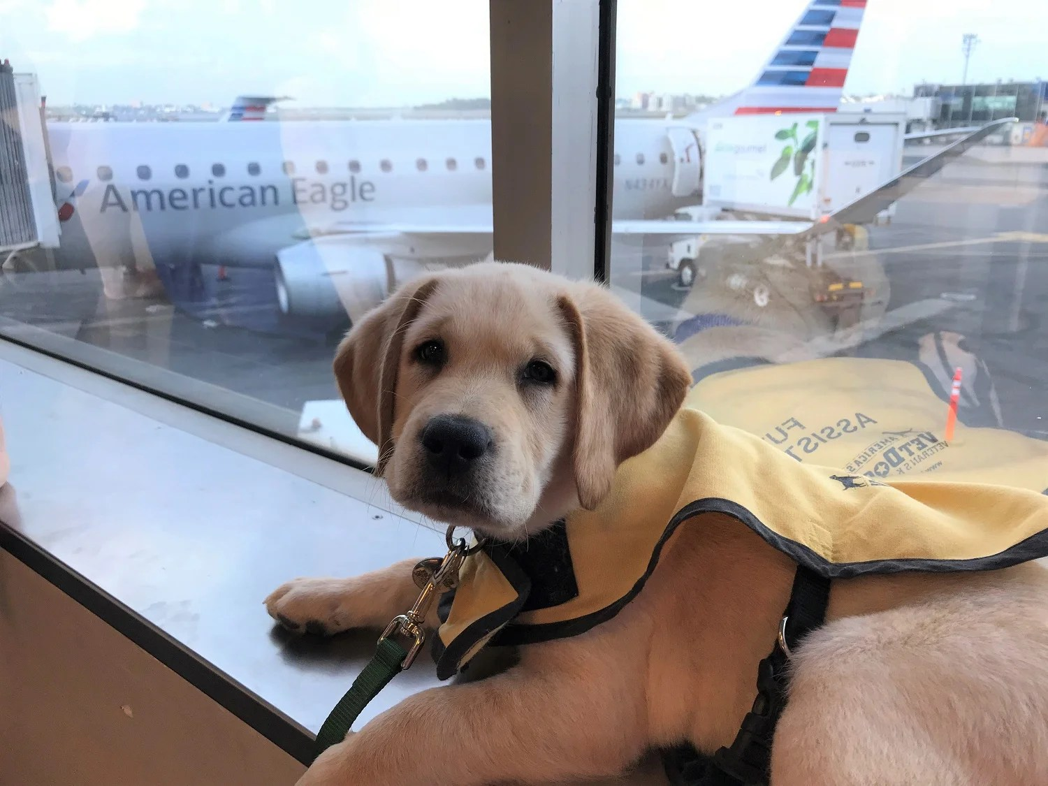 Puppies Take Flight as American Airlines Volunteers Transport Assistance Dogs