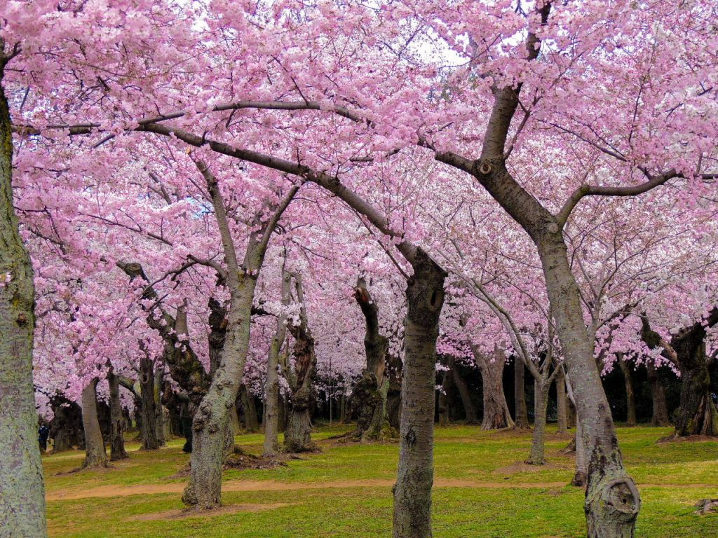 5 Tips To Plan A Trip To The Washington Dc Cherry Blossoms