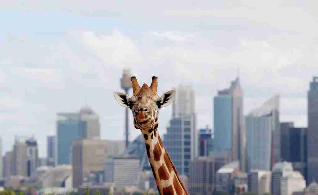 Taronga, a zoo with a view (Photo by Getty Images)