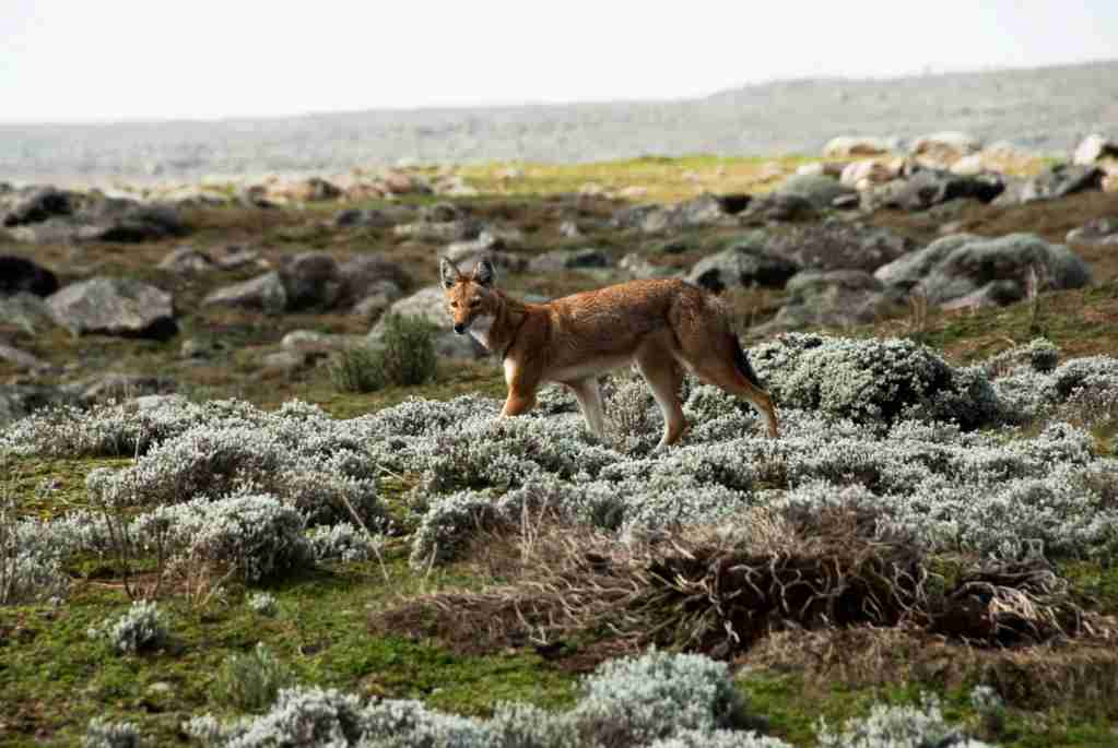 A Simien wolf in the Ethiopian Highlands. (Photo via Shutterstock)