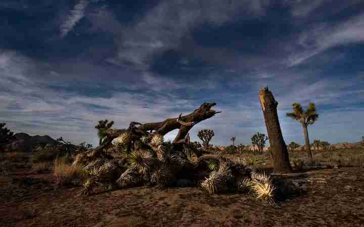 A once vibrant Joshua Tree has been severed in half in an act of vandalism in Joshua Tree National Park on January 8, 2019 in Joshua Tree, California. The park may temporarily close on Thursday because of the government shutdown. (Photo by Gina Ferazzi/Los AngelesTimes via Getty Images)