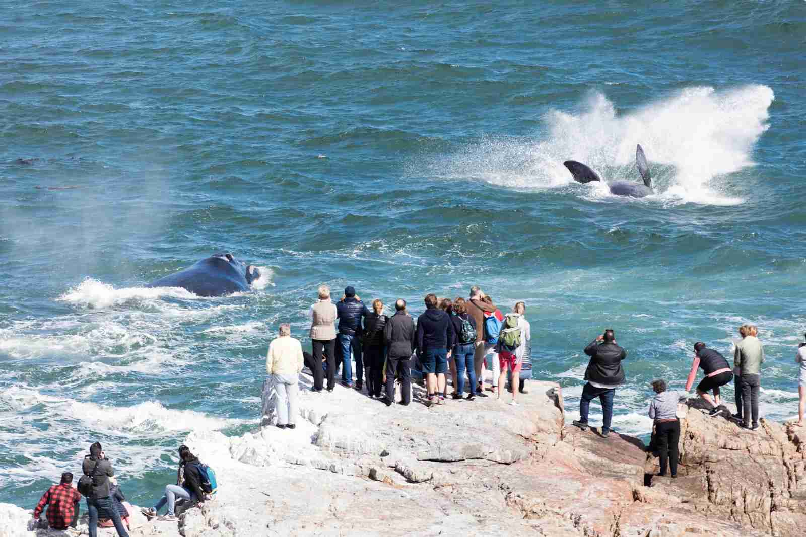 Whales jumping in Hermanus, South Africa. (Photo via Getty Images)