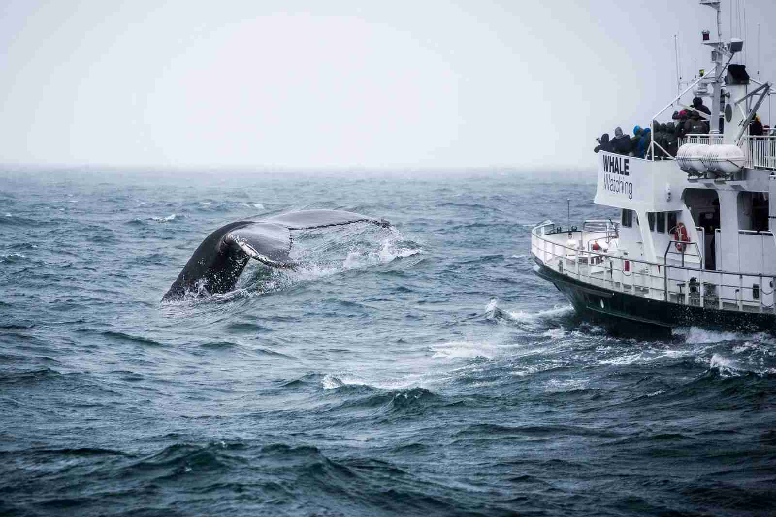 A whale-watching boat in Iceland, with a Humpback Whale tail out of water. (Photo via Getty Images)