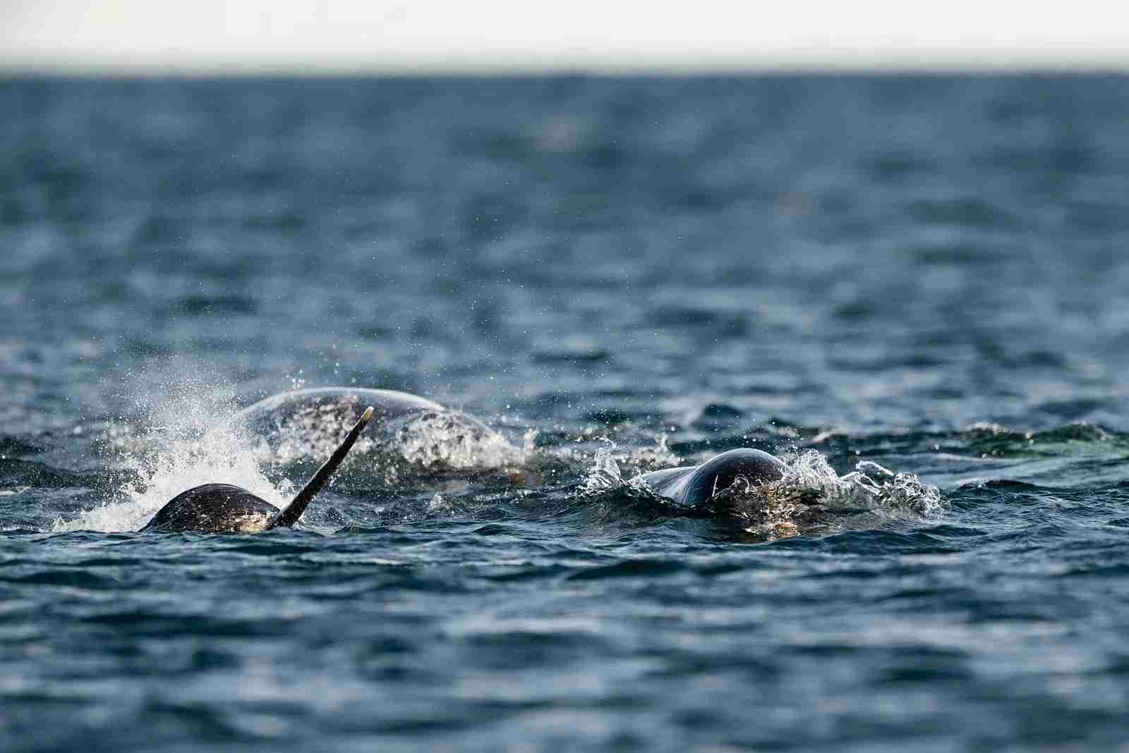 Narwhals spotted in the Arctic Ocean. (Photo via Getty Images)