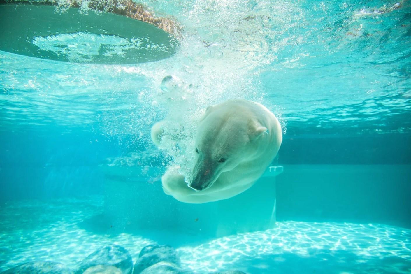 A polar bear at the Lincoln Park Zoo! (Photo by Matthew Mazzei / Unsplash)