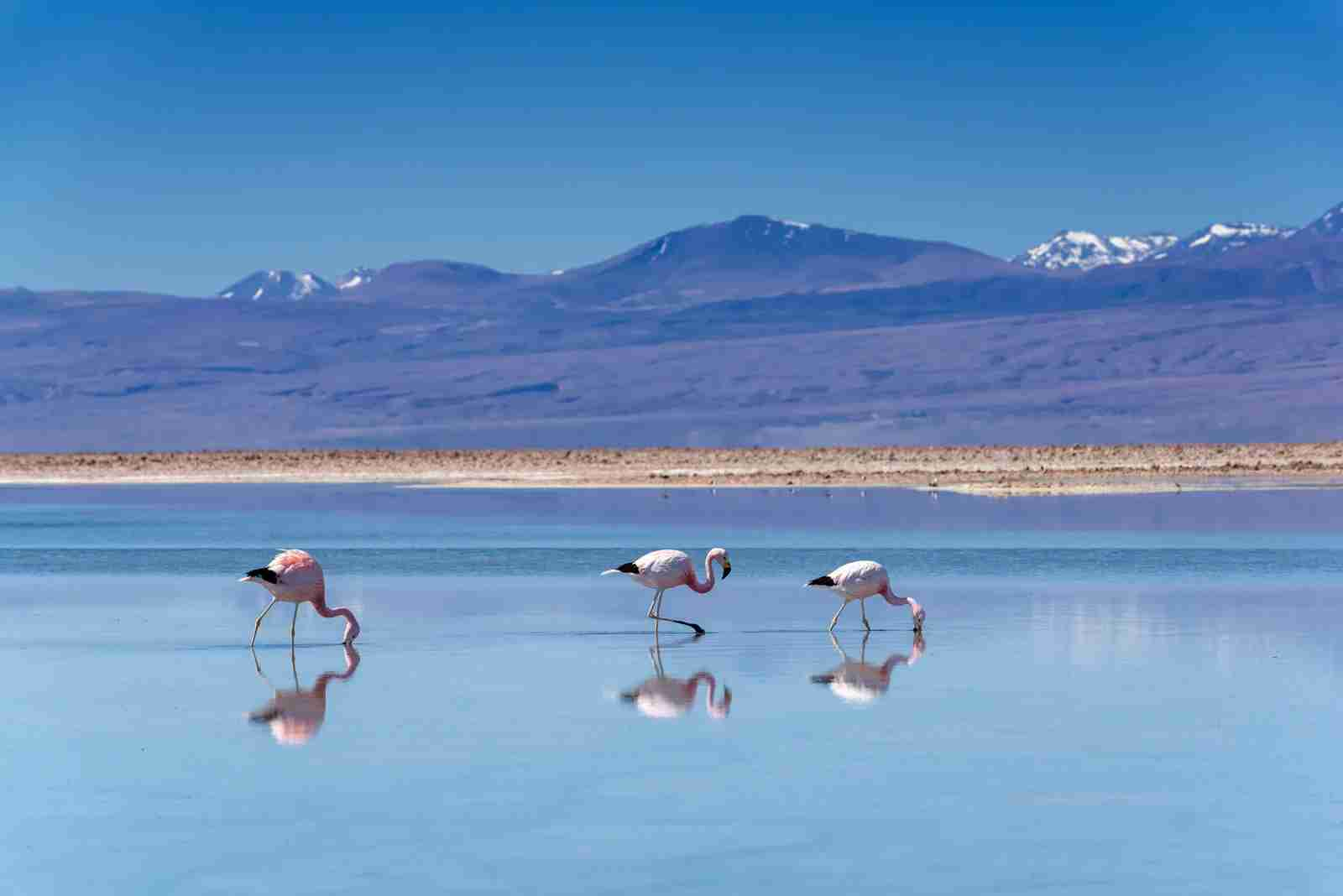 Atacama Desert, Chile, Flamingos