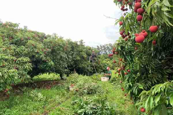 Lychee harvest at Hula Brothers