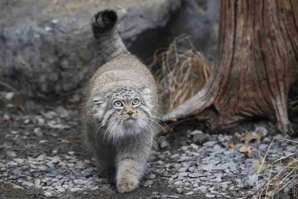 Photo of the Pallas Cat at the Prospect Park Zoo in Brooklyn. (Photo by Julie Larsen Maher)
