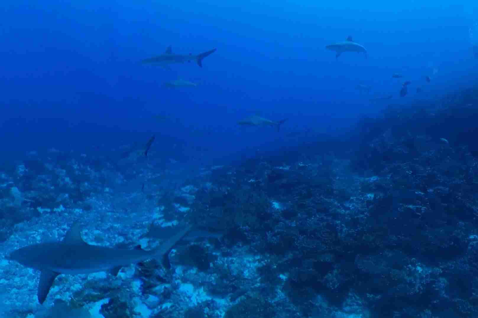 An irrational fear of shark could keep you from experiencing the wall of 400 reef shark in the south pass of the Fakarava Atoll in French Polynesia