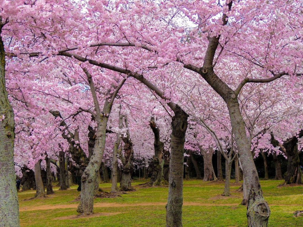 7 Places to See Cherry Blossoms Bloom This Spring Across North America