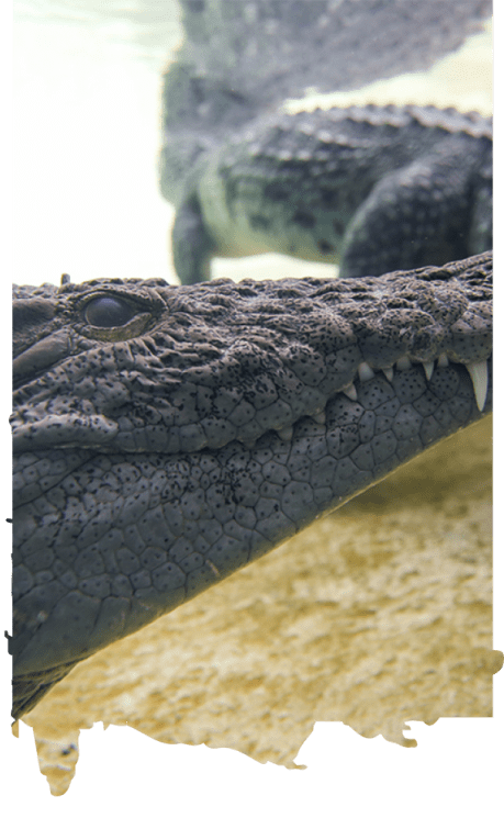 al ain zoo offer experiences crocodile feeding uae