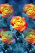 Moms Roses