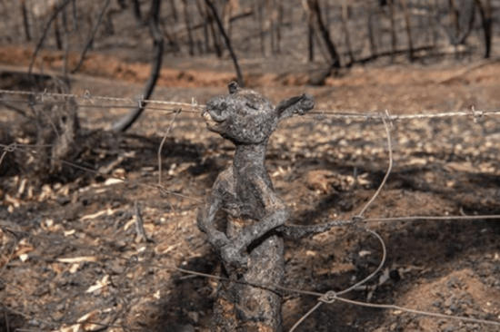 Viral photo of a baby kangaroo's burnt body ensnared in a fence. Ash and decomposing animal carcasses pose a major threat to Australia's freshwater supplies.
