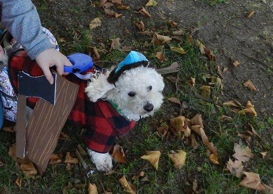 winter-the-miniature-poodle-lumberjack_attb_meningrey_dot_net.jpg