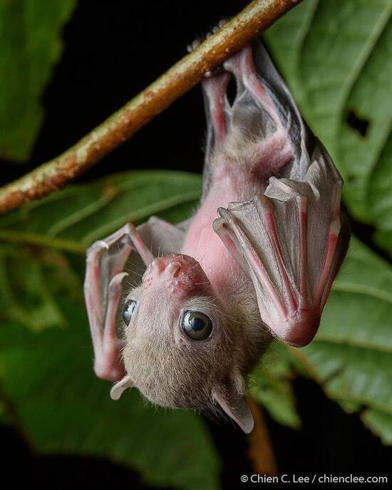 """""""A fruit bat pup waits patiently on its perch in a small tree for its mother to return. Mothers will often 'park' their young in a safe spot while they forage, returning to nurse them later."""" Photo: Chien C. Lee"""