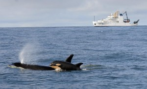 Orca calfs are not tracked on Ship Finder but ocean vessels are.