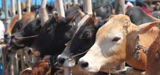 cow गाय गौहत्या