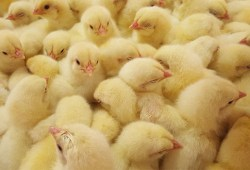 New day old chicks levy