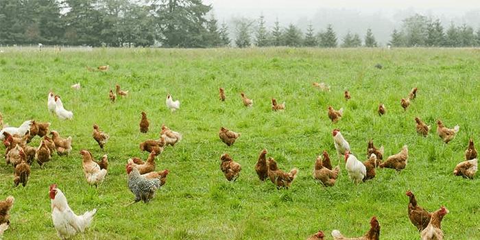 free range chickens_chimanimani