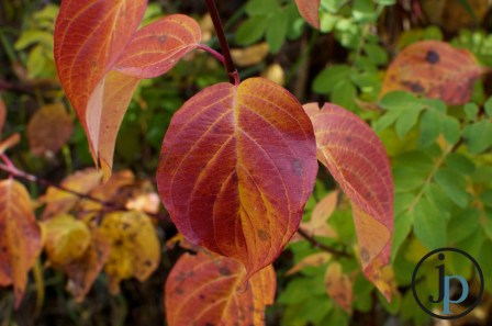 Redish Yellow Leaf