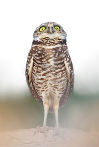fearful owl
