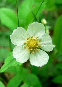 wildstrawberryflower