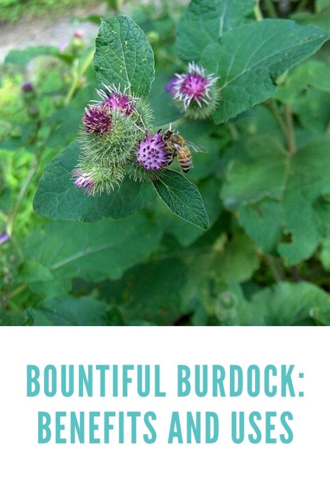 Burdock has purple flowers much loved by bees.