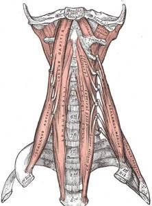 deep neck muscles the prehab guys
