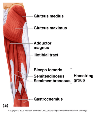 Via Dr. Robert Droual gluteus maximus and medial knee collapse