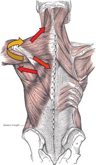 trapezius serratus force couple shoulder prehab guys