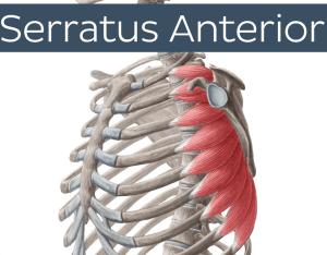 Serratus Anterior anatomy prehab guys