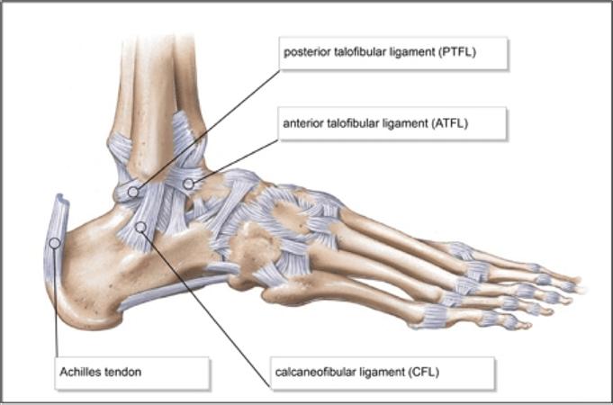 ankle sprain rehab anatomy the prehab guys