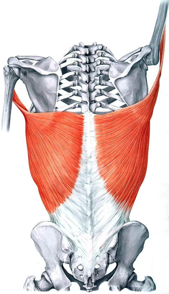 best lat stretches anatomy