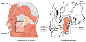 muscles of mastication the prehab guys temporomandibular joint disorders