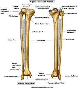 fibula tibia interosseous membrane the prehab guys