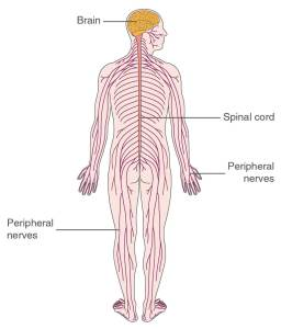 brain and spinal cord how to relieve nerve pain the prehab guys