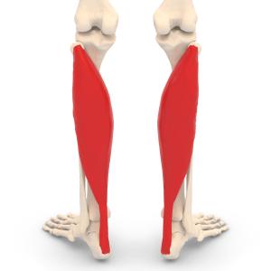 soleus muscle the prehab guys