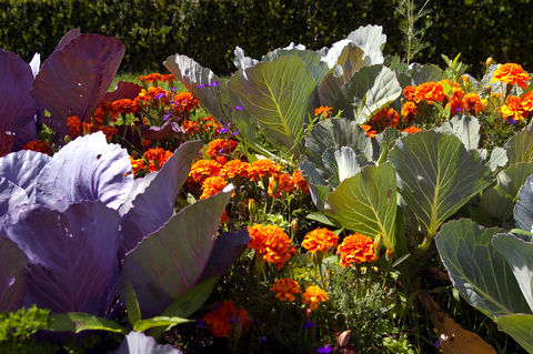 Spacing concepts - congestion planting marigolds and cabbage - www_welldonelandscaping_com