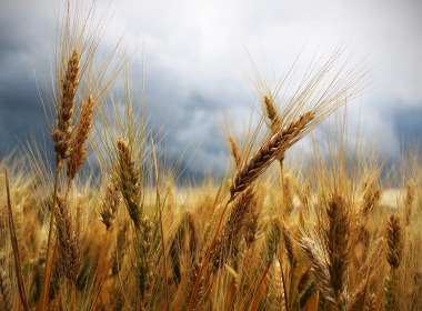 Even these individuals should consider storing wheat in some measure, and I'll be discussing the reasons why at the end of this article.