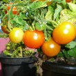 Editors Note: Another guest post from Angela Williams to The Prepper Journal. After all, it is spring south of the equator and using pots to grow vegetables is the only option for some!As always, if you have information for Preppers that you would like to share and possibly receive a $25 cash awardas well as be entered into the Prepper Writing Contest witha chance to win one of three Amazon Gift Cards with the top prize being a $300 card to purchase your own prepping supplies,enter today!