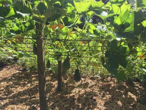 Urban farming: squash