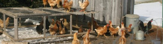 Homesteading with a chicken coop
