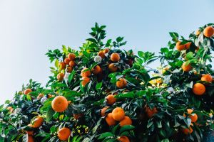 doTERRA Sunny Citrus Essential Oil – Benefits & Uses
