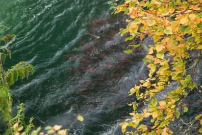 Sockeye Salmon Run - www.ThePrimalDesire.com