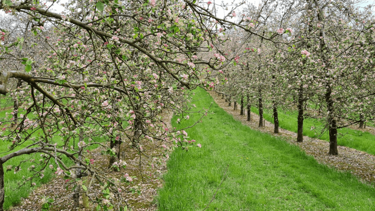 A beautiful Apple orchard. Rows and rows of trees with pink blossom