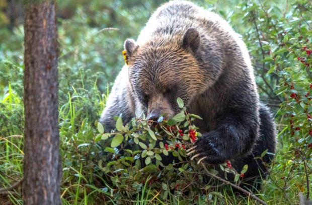 grizzly-bear-buffaloberry-bush.jpg